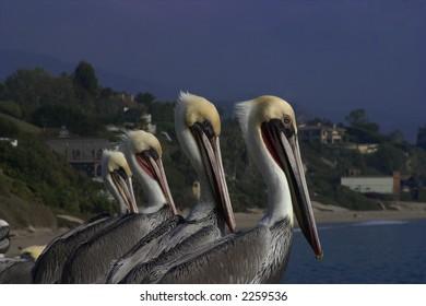 Row of Pelicans