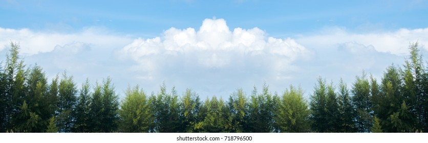 Row of  pine trees with sky and Beautiful green pine trees