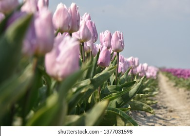 a row of pink tulips