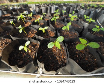Row of plastic bags which contain young seedling sprouts in nursery shed