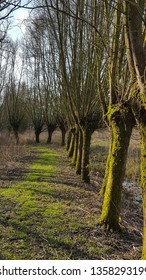 Row of pollard willows along foot path, Biesbosch National Park, South Holland, Netherlands