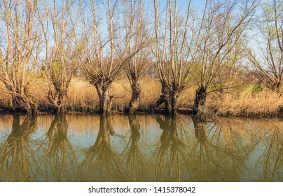 Row of pollard willows on the bank of a creek in the Dutch National Park Biesbosch, North Brabant. The trees and branches are reflected in the mirror smooth water surface of the creek.