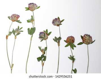 A row of pressed clover flowers on a white background . Floral art to be used in scrapbooking , crafts and hobbies