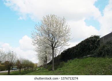 Row of prunus trees with white blossom at a sound wall in Nieuwerkerk aan den IJssel