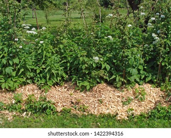 Row of raspberries in garden mulched with fresh shavings and sawdust