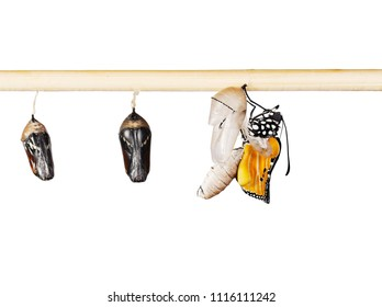 A row of ready to emerge pupae of the plain tiger butterfly, Danaus chrysippus, glued to a stick. One butterfly has hatched from pupa and is expanding its wings. Isolated on white background.