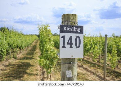 Row of Riesling grapes on a vineyard in the Finger Lakes Region of New York.