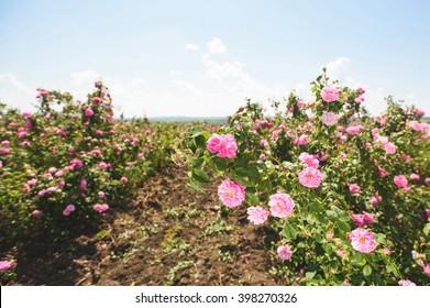 row of rosebushes at rose plantation