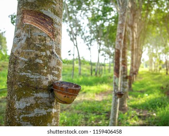 Row of Rubber trees and bowl milky latex. Source of natural rubber.Tapping latex from rubber tree.