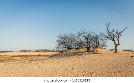 Row of seemingly dead trees on top of a sand dune on a sunny day in the spring season in the Dutch National Park Loonse en Drunense Duinen near the village of Udenhout, North Brabant.