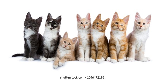 Row of seven maine coon cats / kittens looking at camera isolated on white background