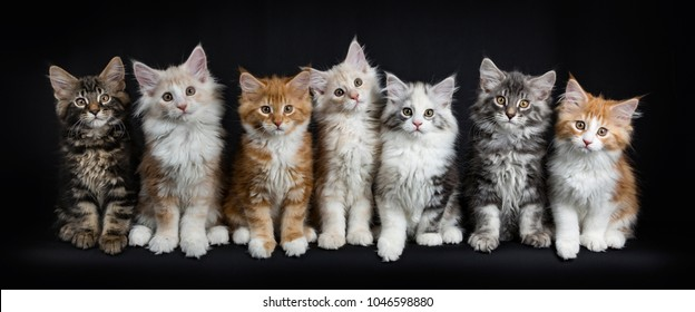 Row of seven maine coon cats / kittens looking straight in lens isolated on black background