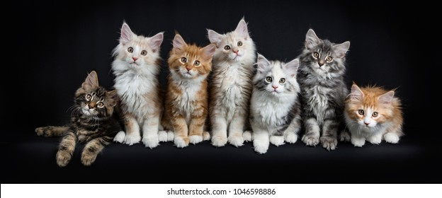 Row of seven maine coon cats / kittens sitting / laying down looking straight in lens isolated on black background