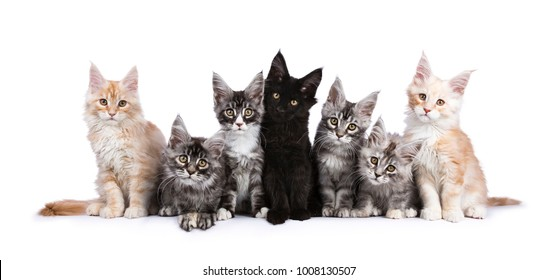Row of seven Maine Coons facing camera isolated on white background