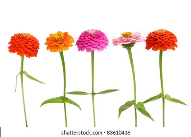 Row of several color Zinnia flowers isolated on white background