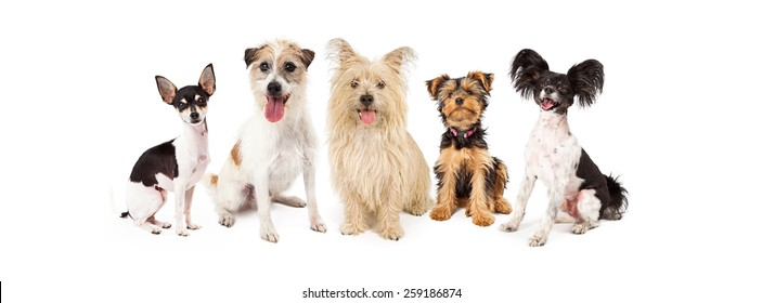 A row of six small breed dogs sitting together