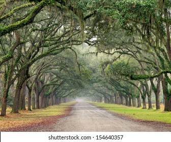 Row of southern oak trees with spanish moss lining a dirt road.