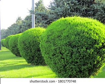 A row of spherically trimmed lush juniper shrub hedges growing on lawn in the front of a row of fir trees under sunshine in spring