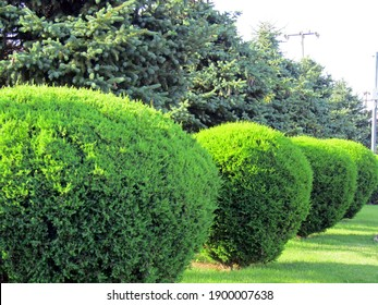 A row of spherically trimmed lush juniper shrub hedges growing on lawn in the front of a row of fir trees with a couple of power poles under sunshine in spring