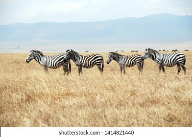 A row of standing zebras in  the savanna grassland, Tanzania.