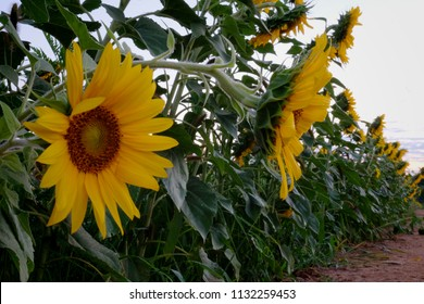 A row of sunflowers with focus on a pair of close heads at Dorothea Dix Park in Raleigh North Carolina