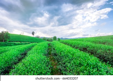 Row of tea plantations with beauty blue sky ground view.Tea plantations background in Thailand.Budding of tea tree.