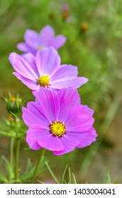 row of three pink Cosmos Flowers on a green grass background