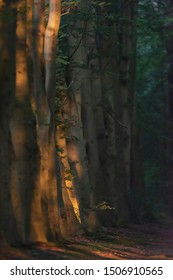 Row of tree trunks along forest path in sunlight on summer morning.
