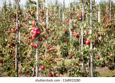 Row of trees full of ripe fruits in apple orchard