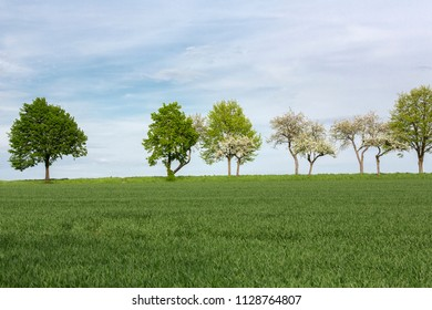 Row of trees on farmland in spring, Germany
