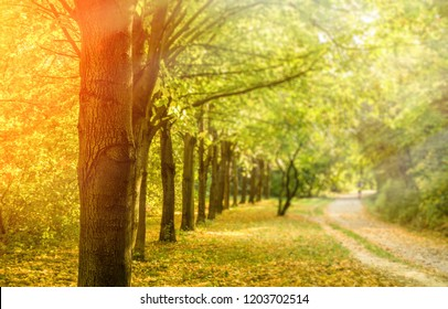 Row of trees with yellow foliage on ground in Autumn, selective focus