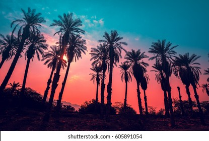 Row of tropic palm trees against sunset sky. Gradient color. Silhouette of tall palm trees. Tropic evening landscape. Diagonal purple pink gradient color. Beautiful tropic nature