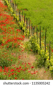 Row of vines between grass and a poppy field in Tuscany Italy