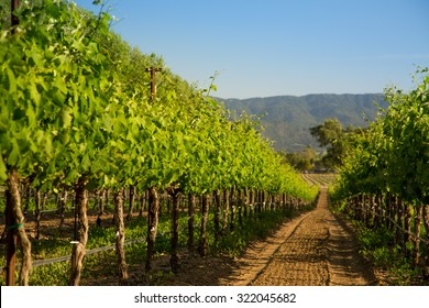 Row of Vineyard Grape Vines