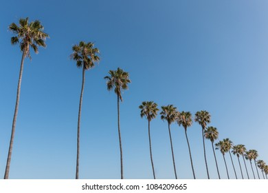 A row of Washingtonia robusta palm trees in Southern California.