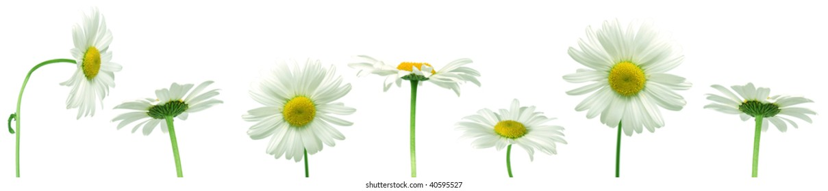 Row of white daisies for border or frame