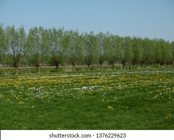 Row of willows with flowerfield