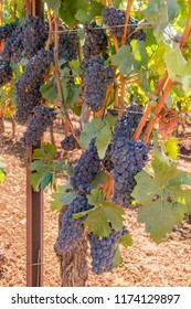 Row of Wine Grapes on the Vine Ripe, Ready for Harvest.
