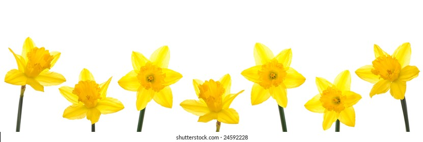 Row of yellow daffodils for border or frame