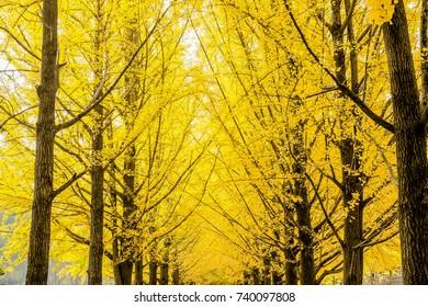 Row of yellow ginkgo biloba tree (Maidenhair Tree), Leaves of the ginkgo biloba (maidenhair tree) turn to golden in Nami Island, Korea