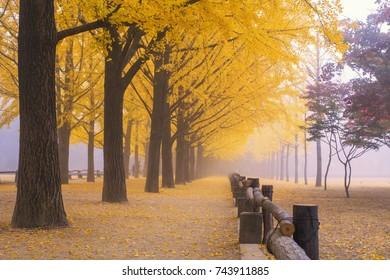 Row of yellow ginkgo tree in the fog at nami island,South Korea.