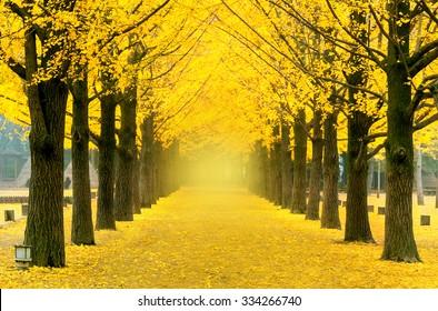 Row of yellow ginkgo tree in Nami Island, Korea