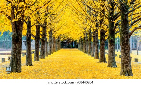 Row of yellow ginkgo tree in Nami Island, Korea