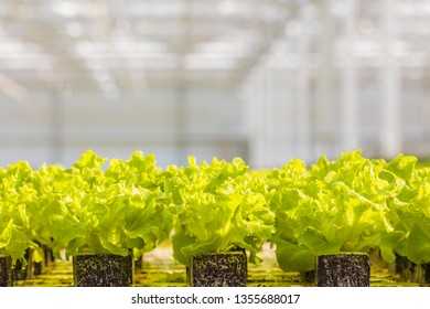 Row of young lettuce sprouts growing in a Dutch greenhouse