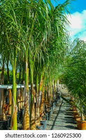 Row of young palm trees in buckets for sale in garden shop, homeplant and decovative plant for gardens and parks