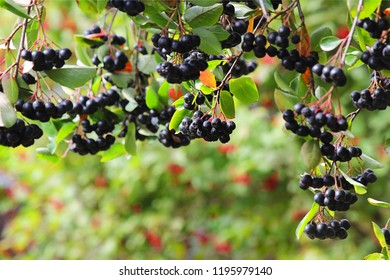 Rowan. Aronia Aronia, or Chokeberry (Latin Aronia melanocarpa). Autumn background. Selective focus, close-up.