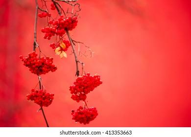Rowan  ashberry rowan berries with shallow focus background