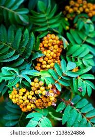 Rowan Berries growing on tree - differential focus