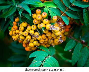 Rowan Berries growing on tree - differential focus