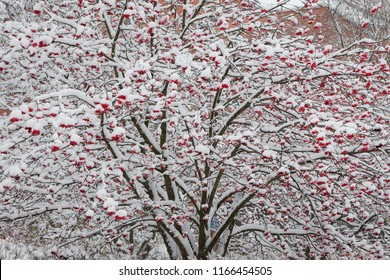 Rowan berries on tree after snowfall at winter